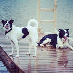 #bordercolliesofinstagram taking over the dock! #evasplaypupspa #dogcamp #doggievacays #pondtime #dogsinnature #dogdaysofsummer #dogsofinstagram #endlessmountains #mountpleasant