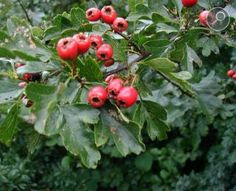 Hawthorn Berry, and its role with heartworms in dogs. Hawthorn for dogs; 1 herb choice known for its ability to rectify heart, respiratory, and adrenal function Pomes, Wild Edibles, Leaf Flowers, Eating Raw, Rosacea, Trees And Shrubs, Medicinal Plants, Berry, Fruit Trees