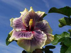 """""""Hibiscus Tahitian Taui"""""""