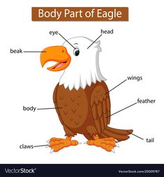 Diagram showing body part eagle vector image on VectorStock English Grammar For Kids, Learning English For Kids, Teaching English Grammar, English Vocabulary, Kids Learning, Learning Spanish, Preschool Learning Activities, Preschool Crafts, Toddler Activities
