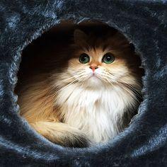 Nous vous présentons le chat le plus photogénique du monde : Smoothie !