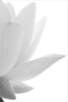 Zen -Lotus