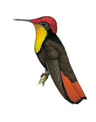 Ruby-topaz hummingbird (Vagrant)