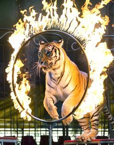A tiger jumps through a ring of fire during a performance of the Fuentes Gasca Brothers Circus in Mexico City on June 24 2014. Apart from frequent training sessions, the tigers only leave their cages for daily performances. Mexico City and six of Mexico's 32 states have now banned circus animals.