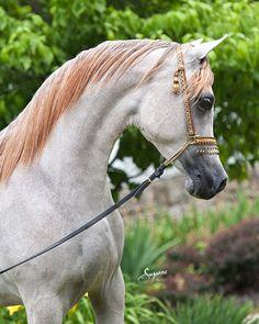 egyptian arabian horses - Google Search