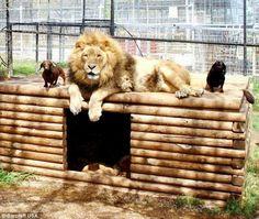 La increíble amistad de un perro salchicha y un león