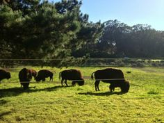 Bet you didn't think you'd spy a Bison herd in the middle of San Francisco!