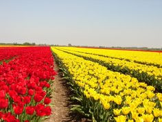 My little girl's first ever foray in the tulip fields (Spring Holland Netherlands, Tulip Fields, 6 Month Olds, My Little Girl, My Happy Place, Spring Time, Tulips, Vineyard, Photoshoot
