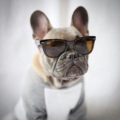 Grayson, the Dapper French Bulldog Puppy❤️❤️ @greysonthedapperfrenchie