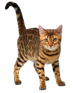 What is your cat's tail telling you? http://www.purrlsofwisdomaboutcats.com/2016/08/tall-tails-what-does-your-cats-tail.html