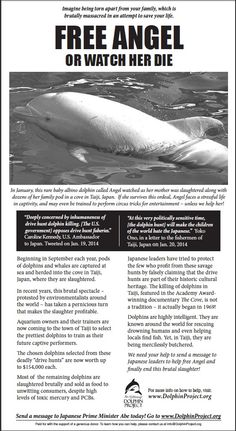 Feel Angel, the albino Dophin stolen from his mother in Taiji Japan. Dont let him die in captivity!!!!