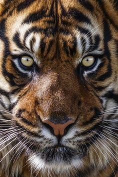 Los tigres y su atractivo salvaje en 20 fotografías Tiger Pictures, Animal Pictures, Big Cats, Cool Cats, Beautiful Cats, Animals Beautiful, Animals And Pets, Cute Animals, Tiger Art