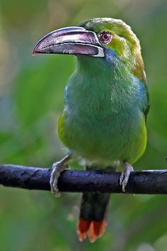 Crimson Rumped Toucanet, found in humid Andean forests of Ecuador, Colombia Venezuela
