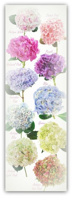 Hydrangea colors// my FAVORITE! I wish I would have had a summer wedding so I could have a bouquet of just hydrangeas! Hortensia Hydrangea, Hydrangea Colors, Hydrangea Plant, Purple Hydrangeas, Lavender Roses, Types Of Hydrangeas, Hydrangea Varieties, Climbing Hydrangea, Hydrangea Landscaping