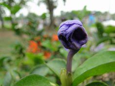 Brotando em flor