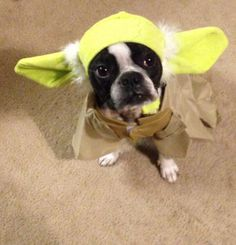 Boston Terrier Costume - Yoda