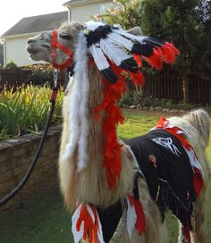 Llama Jolly wearing a costume that I made.