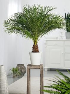 Die pflegeleichte Dattelpalme ist mit ihren langen Wedeln eine imposante Kübelpflanze. Während des Sommers bringt sie südländisches Flair auf die Terrasse oder den Balkon.