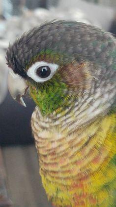 Training Your Pet Parrot Funny Birds, Cute Birds, Pretty Birds, Beautiful Birds, Beautiful Babies, Conure Bird, Birds For Kids, Crazy Bird, Parrot Toys