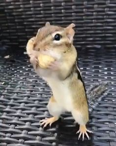 Tag your friends that are always hungry Video by Jungle Animals, Cute Baby Animals, Animals And Pets, Funny Animals, Squirrel Video, Cute Squirrel, Squirrels, Jungle Life, Mundo Animal