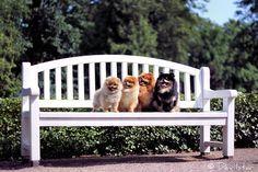 Pomeranians, by Devilstar.