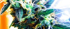 """NEW on HE:  11 Reasons Marijuana is Medicine for Humans Who Are Not """"Sick"""":"""