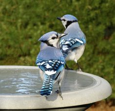 https://flic.kr/p/hX7RCk | Blue Jays at the Frozen Bird Bath | The water in the bird bath was frozen. One blue jay was pecking at the ice trying to get some water. I added some warm water later.  - Baldwin, NY - November 29, 2013