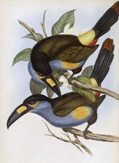 Laminated Hill Toucan