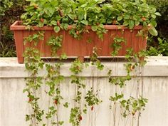From Baker Creek Heirloom, the Attila Strawberry seeds but a review said they have 100% germination.  Want them.