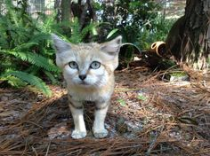 Big Cat Rescue - Tampa FL  Genie the sand cat waiting for her dinner!