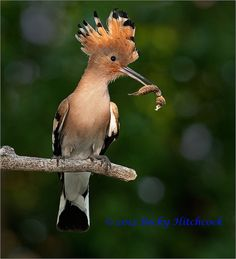 Hoopoe near the nest with a grub (mole cricket?) for the chicks #Rebecca Hitchcock _24F9784_3336pv by BeckH1, via Flickr