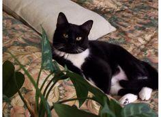 Kassie my Tuxedo cat just chilling.
