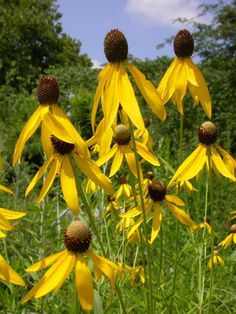 Ratibida pinnata Yellow Coneflower Sun:	Full Soil:	Sand,Loam,Clay Moisture: Dry,Medium,Moist Height:	3'-6' Bloom: Yellow Jul-Sep Yellow Coneflower (Ratibida pinnata) grows in almost any soil! This striking prairie flower produces a cornucopia of bright yellow flowers in the heat of mid-summer. Amazingly durable, it survives heat, drought, flooding, and winter cold. Easy to grow from seed or transplants, this is a strong perennial and classic prairie flower. Hardy to Zones 3 - 9.