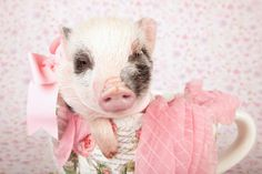 You're in For a Big Surprise if You Decide to Raise a Mini-Pig ...