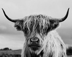 Black and White Highland Cow Print Scottish Coo Shaggy Cow Highland Cow Art, Scottish Highland Cow, Cow Pictures, Animal Pictures, Types Of Art Styles, Fluffy Cows, Cow Painting, Cute Cows, Animal Photography