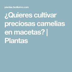¿Quieres cultivar preciosas camelias en macetas? | Plantas