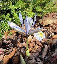 May Dreams Gardens: Garden Bloggers' Bloom Day - March 2015