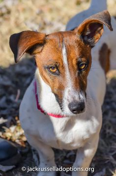Georgia Jack Russell Rescue, Adoption and Sanctuary   Penny