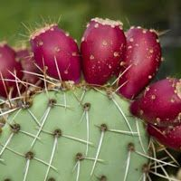 Learn how to grow prickly pear cactus in this article. Growing prickly pear cactus and its care is not difficult, if you grow it in right growing conditions. Prickly Pear Juice, Prickly Pear Cactus, Cactus Water, Cactus Flower, Flower Film, Pear Fruit, Mediterranean Garden, Wild Edibles, Fruit Garden