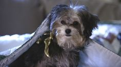 This is the dog from Santa Buddies. Her name is Tiny.