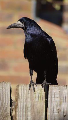"Crows Ravens Rooks:  ""#Rook,"" by Matthew Le Riche, on 500px."