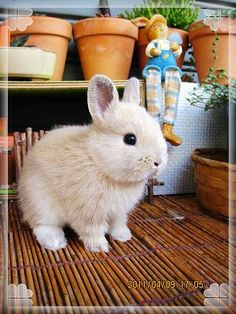Dwarf rabbit....WANT ONE!!!!