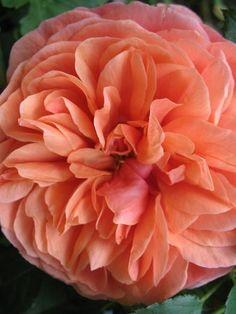 ~'Safari ' Rose Photo, good in CA heat, does not burn