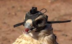 El ojo del animal más rápido del mundo en acción  Este magnífico vídeo ha sido grabado por cetreros de Abu Dhabi.  Con una cámara en miniatura, creada expresamente para realizarlo, colocada sobre la cabeza de los halcones han grabado estas imágenes de caza.  Los halcones son los animales más rápidos del mundo, alcanzando velocidades al realizar picados de hasta 360 km/h. En vuelo horizontal pueden alcanzar los 96 km/h.