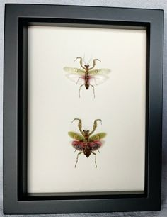 Real Framed Praying Mantis Pair Male and by TheArtsyArthropod