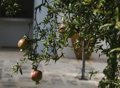 The pomegranate tree just outside the Trullo kitchen's entrance.