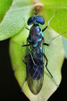 Turquoise soldier fly Found during a night hike in Mananara nord national park, Madagascar.: