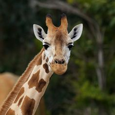 A giraffe at Australia Zoo, Beerwah, Queensland