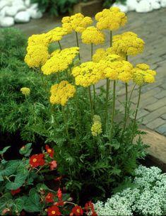 Praktryllik Achillea, Planting, Sun, Plants