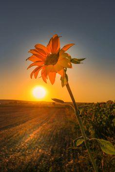 Sunflower by Lichtperlen / Creative Photography, Landscape Photography, Nature Photography, Beautiful Sunset, Beautiful Flowers, Beautiful Artwork, Beautiful Pictures, Sunflower Photography, Sunflower Pictures